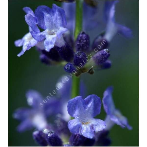 Lavandula angustifolia 'Sophia', Vraie Lavande