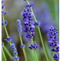 Lavandula angustifolia 'Peter Pan' - Vraie Lavande