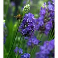 Lavandula angustifolia 'Lavenite Petite' ® - Vraie Lavande