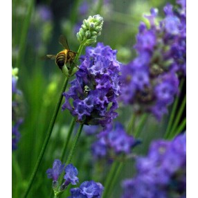 Lavandula angustifolia 'Lavenite Petite' ®, Vraie Lavande