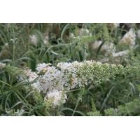 Buddleja davidii 'Nanho White' - Arbre aux papillons