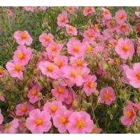 Helianthemum  'Lawrensons Pink' - Hélianthème à fleur rose