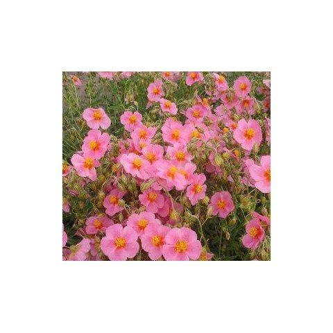 Helianthemum  'Lawrensons Pink' - Hélianthème