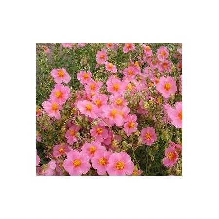 Helianthemum  'Lawrensons Pink' - Hélianthème