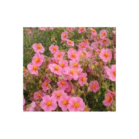 Helianthemum  'Lawrensons Pink', Hélianthème
