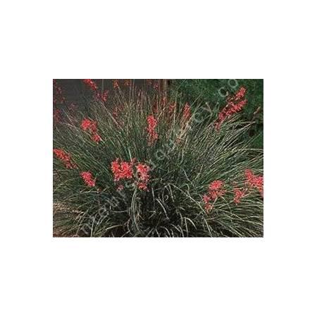 Hesperaloe parviflora - Yucca rouge