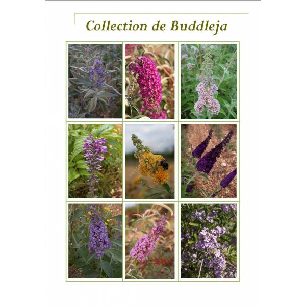 Collection de Buddelja - arbres aux papillons