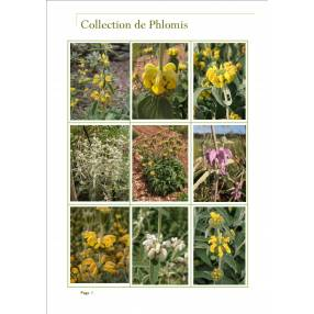 Collection de Phlomis - Sauges de Jérusalem