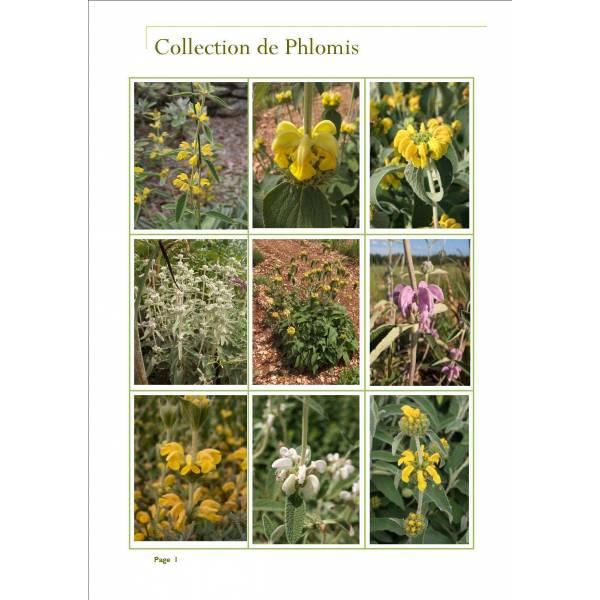 Collection de Phlomis - Sauges de Jérusalem