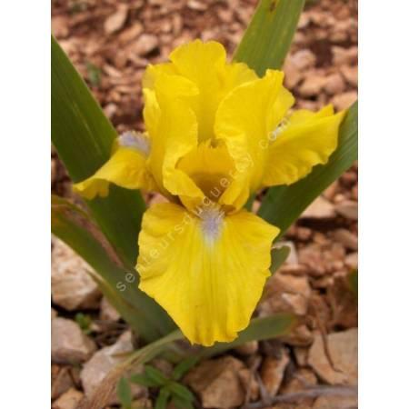Iris 'Spring Fresh'