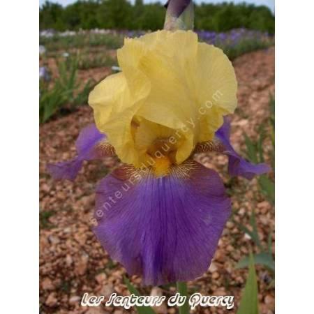 Iris 'Cascadeur'