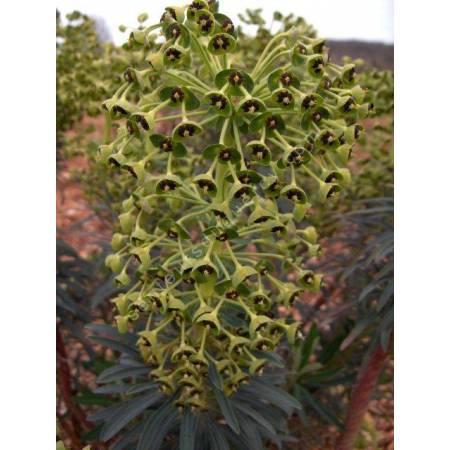 Euphorbia characias 'Black Pearl', Euphorbe
