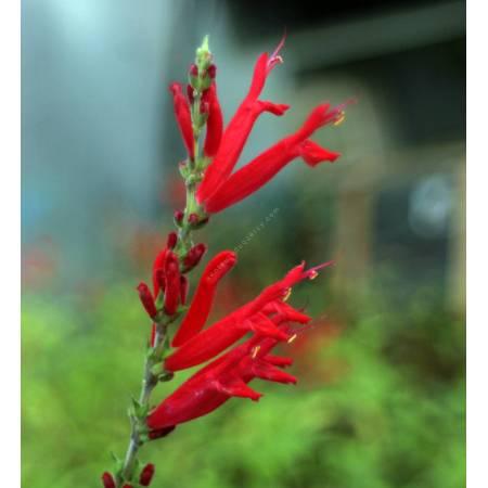 Salvia elegans - Sauge Ananas