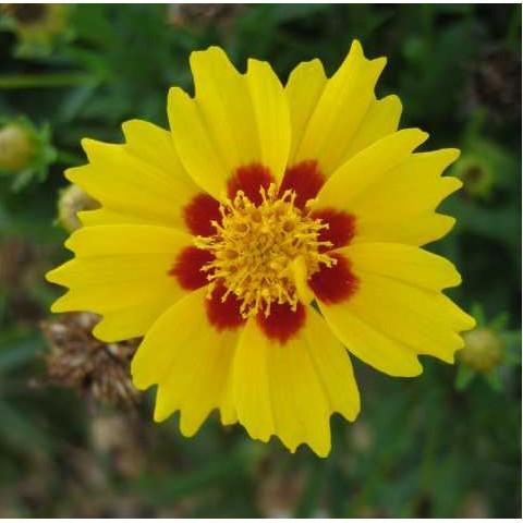 Coreopsis lanceolata 'Walter' - Oeuil de jeune fille