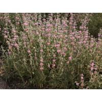 Phlomis 'Marina' - Sauge de Jérusalem rose