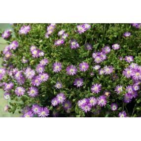 Delosperma aberdeenense - Pourpier vivace rose