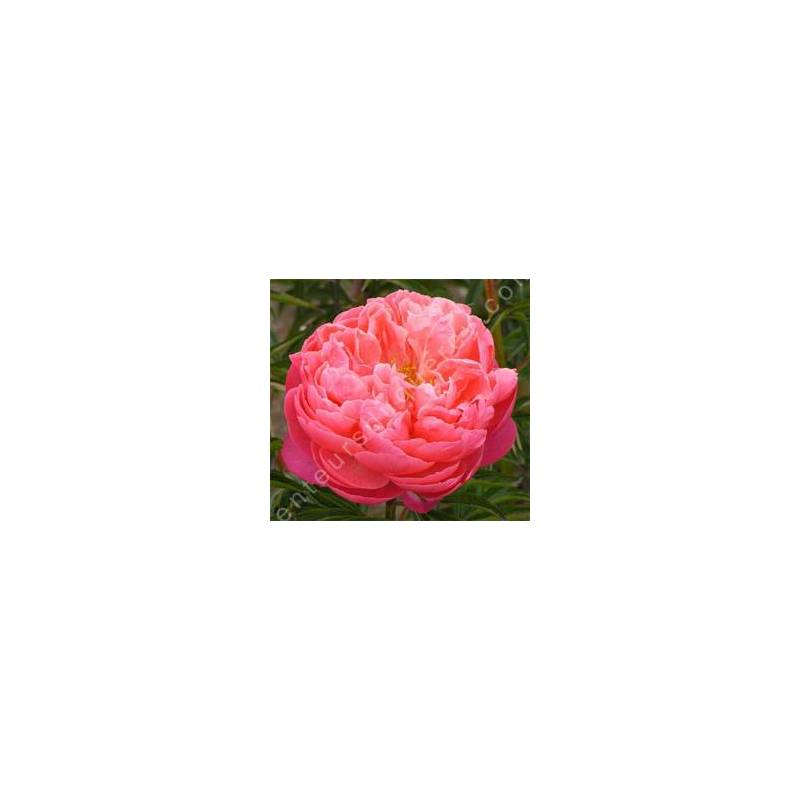 Paeonia 'Coral Charm' - Pivoine herbacée