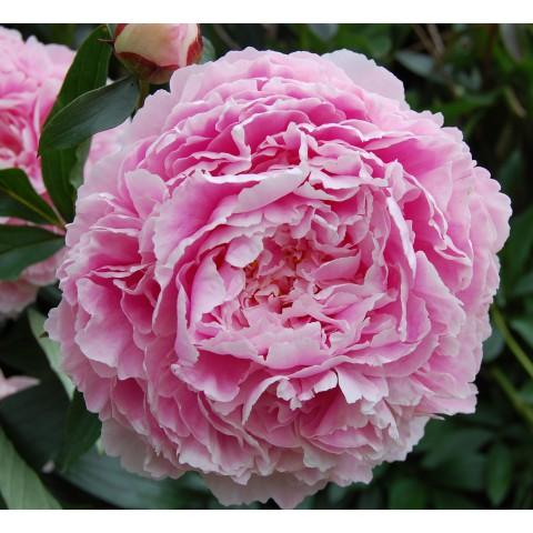 Paeonia 'Sarah Bernhardt' - Pivoine herbacée