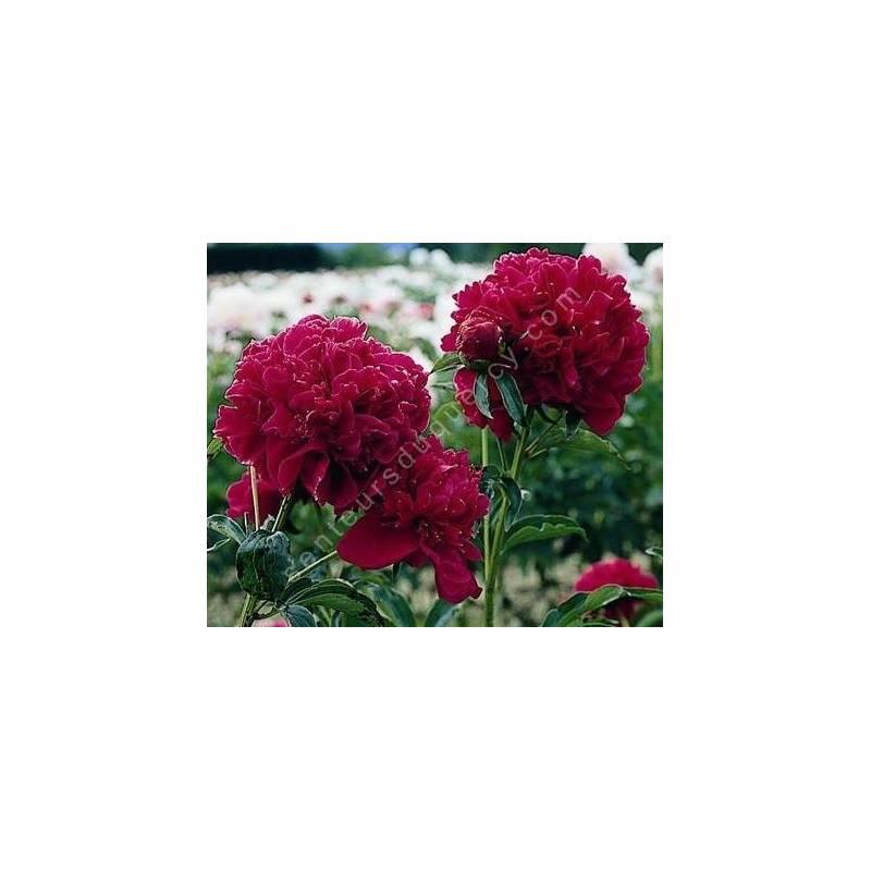 Paeonia 'Felix Crousse' - Pivoine herbacée