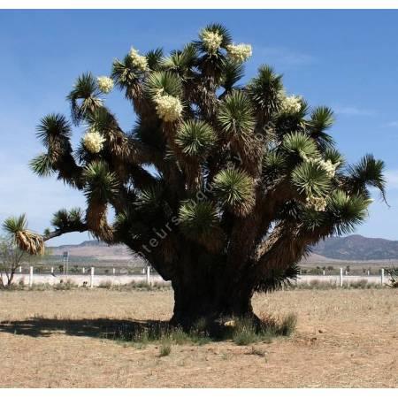 Yucca decipiens