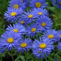 Aster alpinus 'Dunkle Schöne' - Aster Des Alpes bleu
