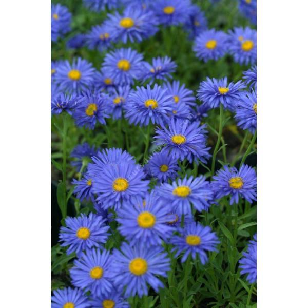Aster Des Alpes Bleu Violet Vivace Aster Alpinus Dunkle Schone