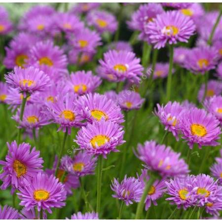Aster alpinus 'Happy End', Aster Des Alpes