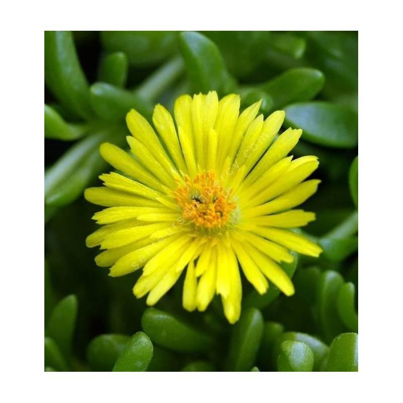 Delosperma nubigenum ex. linerae - Pourpier vivace jaune