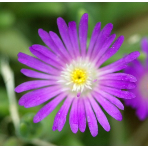 Delosperma aberdeenense fico de vivace - Pourpier vivace en jardiniere ...