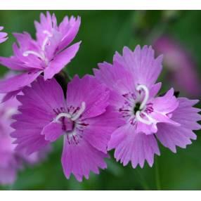 Dianthus corsicus - Oeuillet de Corse