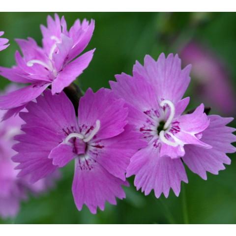 Dianthus corsicus - Oeillet de Corse