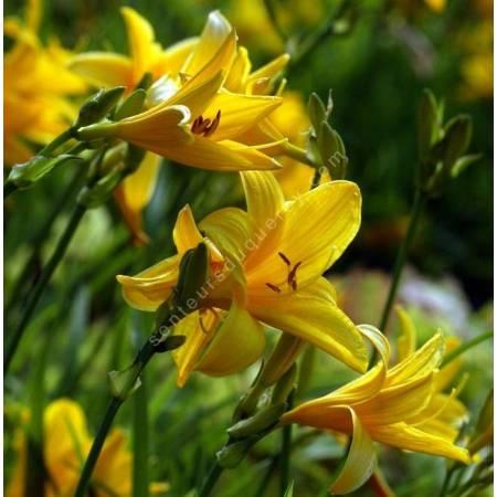 Hemerocallis middendorffii, Hémérocalle de Middendorff