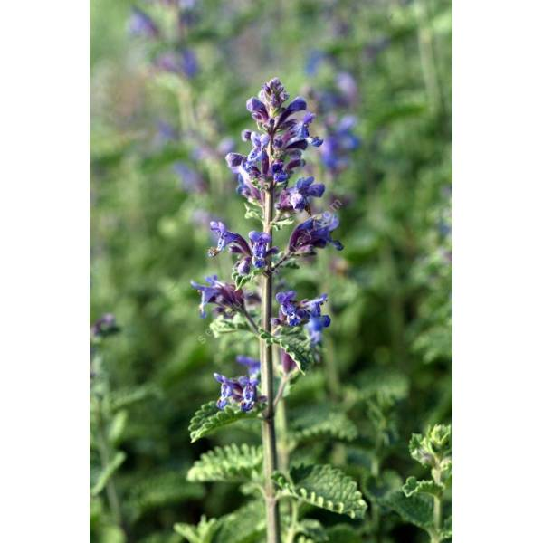 Nepeta x faassenii 39 walker 39 s low 39 herbe chat vivace pour jardin sec - Herbe a chat plante ...