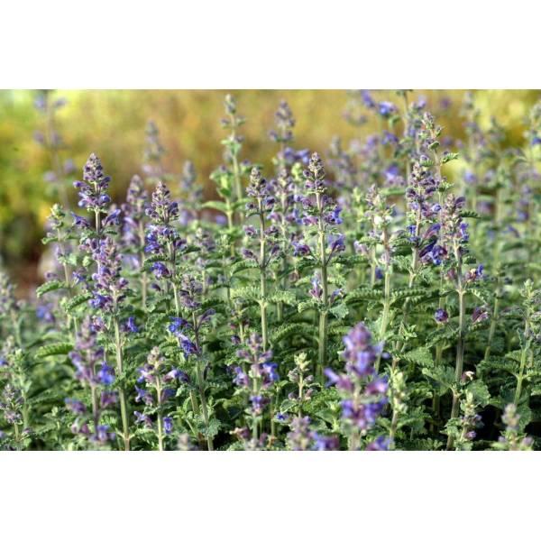 Nepeta x faassenii 39 walker 39 s low 39 herbe chat vivace de jardin sec - Herbe a chat plante ...