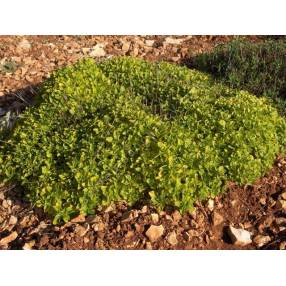 Origanum vulgare 'Thumble's Variety' - Marjolaine dorée