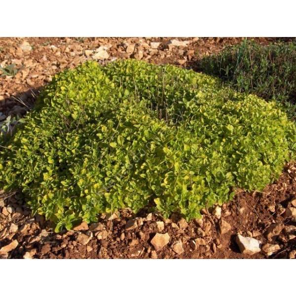 Origanum vulgare 'Thumble's Variety', Marjolaine dorée