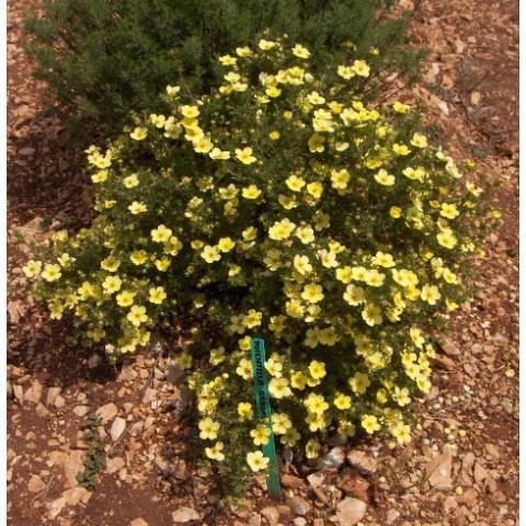 Potentilla fruticosa 'Goldfinger' - Potentille arbustive jaune