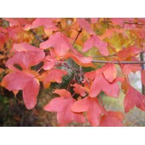 Acer monspessulanum - Erable de Montpellier