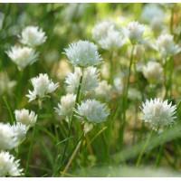 Allium schoenoprasum 'Corsican White' - Ciboulette blanche