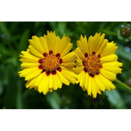 Coreopsis lanceolata 'Walter', Oeuil de jeune fille
