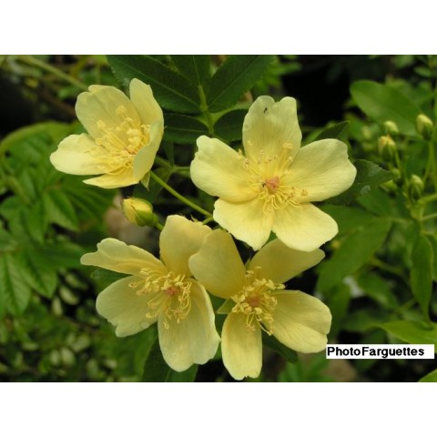 Rosa banksiae 'Lutescens' - Rosier de Banks jaune simple