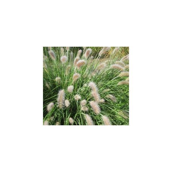 pennisetum alopecuroides 39 compressum 39 herbe aux couvillons gramin e. Black Bedroom Furniture Sets. Home Design Ideas