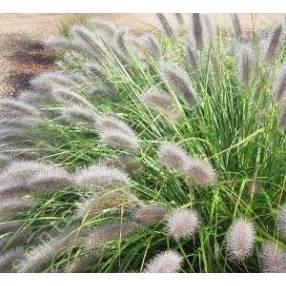 Pennisetum alopecuroides 'Herbstzauber' - Herbe aux écouvillons