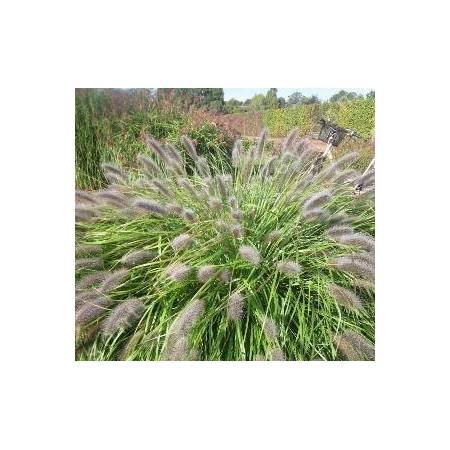 Pennisetum alopecuroides 'Red Head' - Herbe aux écouvillons
