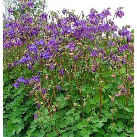 Ancolie commune aquilegia vulgaris plante vivace d for Plante vivace verte