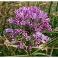 Allium pyrenaicum - Ail des pyrénées