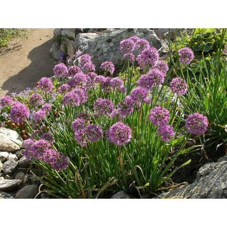 Allium pyrenaicum, Ail des pyrénées