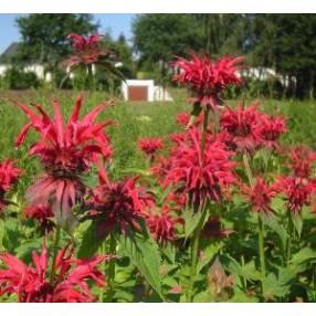 Monarda fistulosa 'Gardenview Scarlet' - Bergamote fistuleuse