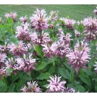 Monarda fistulosa 'Beauty of Cobham' - Bergamote fistuleuse