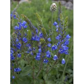 Veronica austriaca subsp. teucrium 'Royal Blue' - Véronique